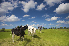 Young cows in a fresh green pasture in summer Stock Photos