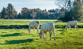 Young cows grazing in early morning sunlight Royalty Free Stock Photo