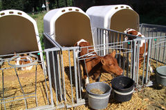 Young cows are kept apart Stock Images