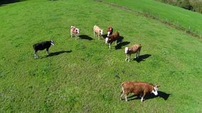 Young cows in the pasture. Aerial View stock video