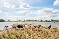 Black and red cows are standing on a stone-studded beach of a Du. Young cows are standing on the edge of the Dutch river Waal. In the background is a stone royalty free stock photography