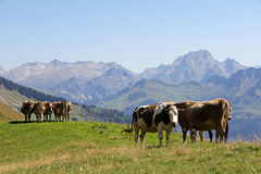 Young cows in the summer in the mountains Royalty Free Stock Photos