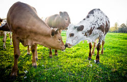 Young Cows Touching Noses Royalty Free Stock Image