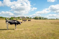 Young cows on the yellow parched grass of the floodplains of a D. Young cows on the grass of the flood plains of the Dutch river Waal in summer. Due to the stock photos