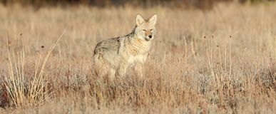 Young Coyote in Sagebrush. A young female coyote hunting small rodents in the grass and sagebrush on a frosty fall morning in Grand Teton Park Stock Images