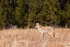 Young Coyote Searching Stock Photo