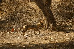 Young coyote in the sunlight in National Park near Khajuraho, In stock image