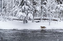 Young coyote walks the shoreline of Madison River during snowsto royalty free stock photo