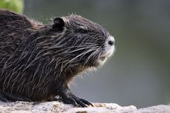 Young coypu on the banks of the yerres Royalty Free Stock Images