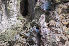 Young Crab-Eating Macaque in Batu Caves, Malaysia. Royalty Free Stock Image