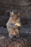 Young Crab Eating Macaque Royalty Free Stock Photos