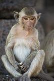 Young Crab Eating Macaque Stock Photos