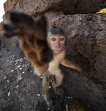 Young Crab Eating Macaque Stock Images
