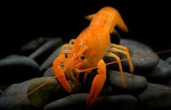Young crayfish lobster with small rock. Young crayfish lobster with small rock in fish tank and black background Royalty Free Stock Image