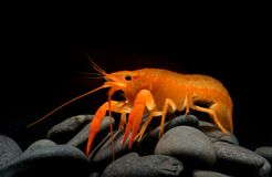 Young crayfish lobster with small rock. Young crayfish lobster with small rock in fish tank and black background Royalty Free Stock Photos