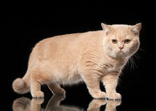 Young Cream British Cat Royalty Free Stock Images