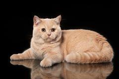 Young Cream British Cat Royalty Free Stock Photos