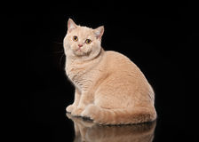Young cream british cat on black background Stock Photography