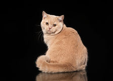 Young Cream British Cat On Black Royalty Free Stock Photos