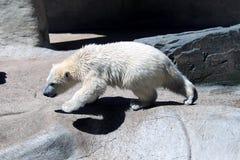 Young creeping polar bear Stock Photos