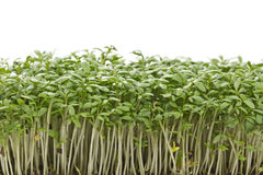 Young cress seedlings. On white background Royalty Free Stock Photos