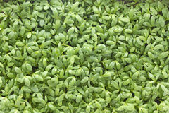 Young cress seedlings Stock Photos