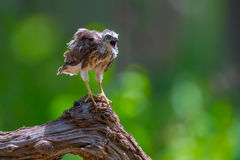 Young Crested serpent-eagle Royalty Free Stock Photo