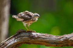 Young Crested serpent-eagle(Spilornis cheela) Royalty Free Stock Photos