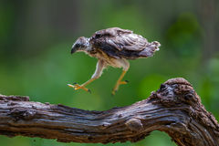 Young Crested serpent-eagle(Spilornis cheela) Stock Photos