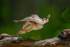 Young Crested serpent-eagle Stock Image