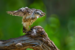 Young Crested serpent-eagle(Spilornis cheela) Stock Photo