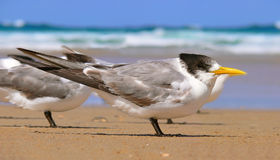Young Crested Tern Royalty Free Stock Photos