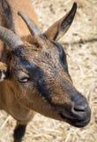 Young Cretan goat in the pasture stock photos