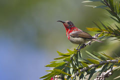 Young crimson Sunbird standing on a tree Stock Photo