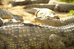 Young crocodile. Sitting on the back of its mother crocodile Stock Photos