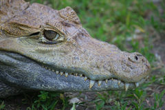 Young crocodile Stock Photo