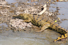 Young crocodile on the bank of a river Stock Photos