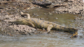 Young crocodile on the bank of a river Stock Images
