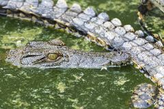 Young Crocodile eye closeup resting in water in Crocodile Park, Uganda royalty free stock images