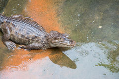 Young  Crocodile on the floor Stock Photography