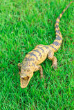 Young Crocodile on green grass Stock Photography