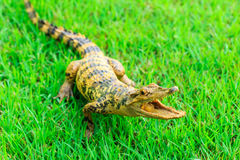 Young Crocodile on green grass Stock Photo