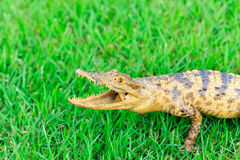 Young Crocodile on green grass Royalty Free Stock Image