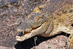 Young crocodile Royalty Free Stock Photography