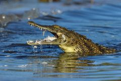 Young crocodile with prey in jaws royalty free stock photo