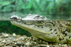 Young crocodile staring out of the water Royalty Free Stock Images