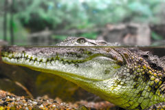 Young crocodile staring out of the water Royalty Free Stock Photo