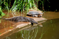 Young Crocodile and Turtle. Image of a young crocodile and turtle cooling off next to a pond. Image taken at a local zoo stock photos