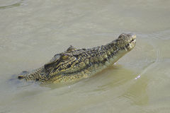 Young Crocodile in the water Stock Photos