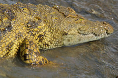 Young crocodile in water Stock Photos